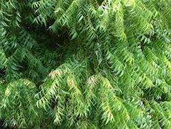 neem leaves in thoothukudi tamil nadu neem ke patte  neem leaves azadirachta indica
