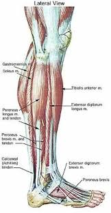 Lower Leg Muscle Chart Leg Muscle Anatomy Emg Muscle