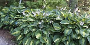 hosta companion plants growing hostas