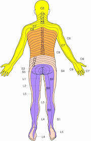 Printable Dermatome Chart Total Life Care Compounding