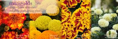 our range of marigold bedding plants includes french marigolds african marigoldarigold plug plants