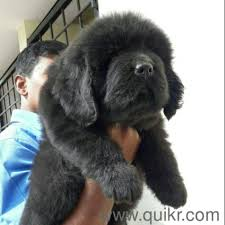 american import newfoundland puppies available for show homes in byatarayanapura bangalore pets on bangalore quikr clifieds