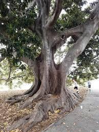 Moreton Bay Fig Tree at Plaza Park in ...