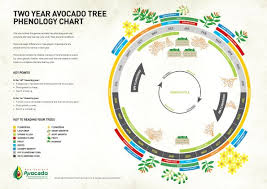 Phenology Chart Back To Basics New Zealand Avocado