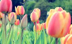 spring tulip desktop wallpaper. Exellent Desktop Flower Tulips Free Desktop Wallpaper 2560x1600  Cool PC Wallpapers And Spring Tulip Pinterest