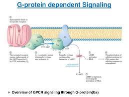 Gpcr Signaling G Protein Coupled Receptor Gpcr