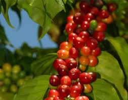 See more ideas about hawaiian coffee, kona coffee, arabica coffee beans. Kona Coffee 100 Pure Hawaiian Kona Coffee Direct From Kona Hawaii