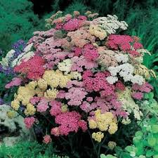 image is loading 50 achillea summer pastels flower seeds mix perennial