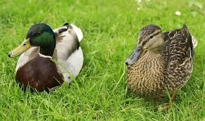 male duck duck species duck breeds