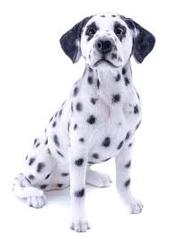 dog garden statue. Dalmatian Dog Garden Statue I