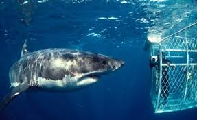 pictures of great white sharks eating people. Fine Pictures U0027The Australians Have Now Got A System Where They Put Tags On Great White  Sharks And Receivers The Beaches So When Comes Into  And Pictures Of Great White Sharks Eating People S