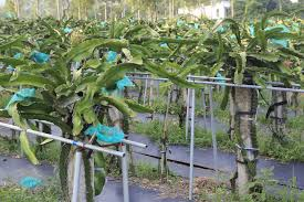 How Does Your Dragon Fruit Grow  Serious EatsHow To Take Care Of Dragon Fruit Tree