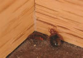 Bedbugs Images Bed Bugs Have Decided To Stay Now They Like Senior Living And