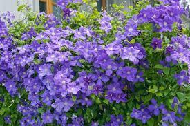 19 Best Pergola Plants  Climbing Plants For Pergolas And Arbors Wall Climbing Plants Southern California