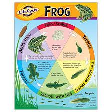 Amazon Com Trend Enterprises Inc Life Cycle Of A Frog