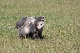 Virginia Opossum Encyclopedia Of Life