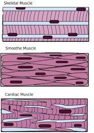 Animal Tissues Plant And Animal Tissues Siyavula