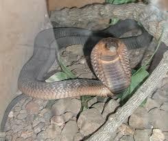 Egyptian cobra - Wikipedia