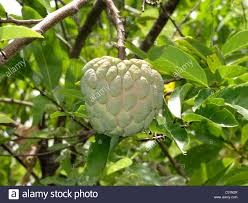 Sugar Apple Tree Annona Squamosa Seeds Small UniqueAnnona Fruit Tree