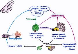 standard grade biology miss hanson s biology resources carbon cycle summary diagram