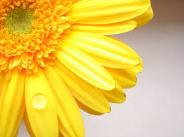 Yellow Flower Wallpapers Group (86+)