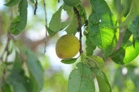 Category Peaches  KState Horticulture NewsletterFruit Trees In Kansas
