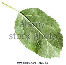 back side of green leaf apple tree isolated stock photo