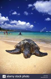 Green Sea Turtle And Swimmers At Laniakea Beach On Oahus