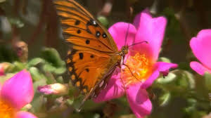 most beautiful butterflies in the world animated. Brilliant Butterflies Intended Most Beautiful Butterflies In The World Animated