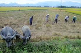 photo essay rural vietnam cue the water buffalo stage right  vietnam rice fields