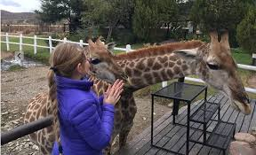 chandelier game lodge ostrich show farm shorty and sheila young giraffes at the