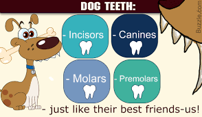 An In Depth Understanding Of The Dental Anatomy Of Dogs