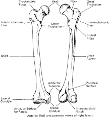long bone diagram unlabeled   human anatomy diagram    long bone diagram unlabeled femur diagram unlabeled   dromgco top