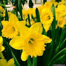 dutch master daffodil trumpet daffodil
