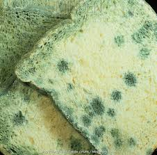 Minden Pictures Stock Photos Penicillin Mould Penicillium Sp On