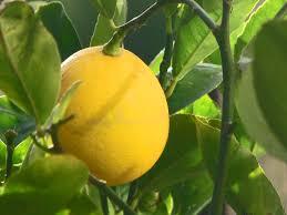 Citrus ×meyeri