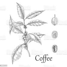 Vector graphic coffee tree plantation, branch, leaf, bean. Hand Drawn Coffee Tree And Bean Frame Free Download Vector Psd And Stock Image