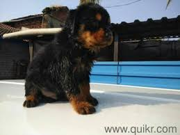 pure breed rottweiler puppies in goa