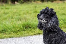 health problems of poodles