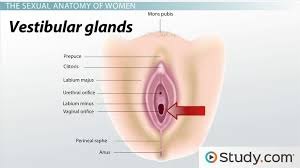Womens Anatomy Chart Human Sexual Anatomy Physiology Major Features Functions