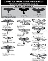 Hawk Chart Hawk Identification Birds Of Prey Backyard Birds
