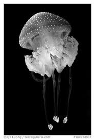 black and white jellyfish photography. Fine White Black And White PicturePhoto Blue Jellyfish Monterey Bay Aquarium  Monterey California USA For And Jellyfish Photography P