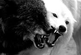 white wolf and black wolf fighting.  Wolf To White Wolf And Black Fighting E