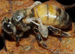 Varroa Mite Varroa Destructor Anderson And Trueman
