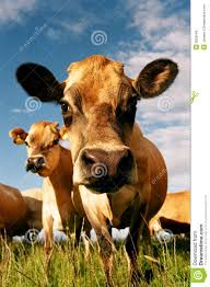 dairy cow face. Wonderful Cow Dairy Cow Face Throughout Cow Face W