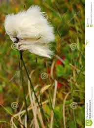 Image result for arctic cotton