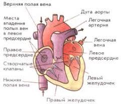 сердца Строение сердца