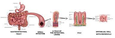 what does the small intestine do