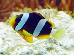 black and yellow clown fish. Exellent Black Black And Yellow Clown Fish  Photo2 On And Yellow Clown Fish