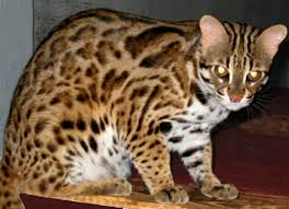 Asian leopard cat breeders